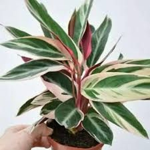 Calathea tricolor (Calathea stromanthe)