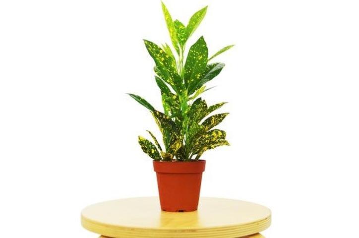 Croton mandarina (Codiaeum V.)