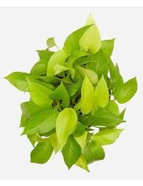 Potus lemon grande