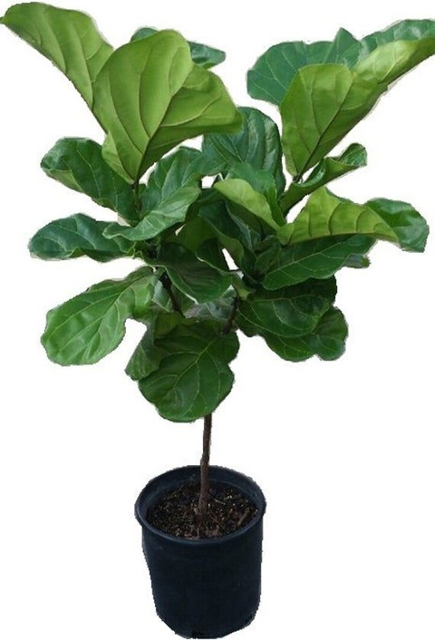Ficus Pandurata o Liryata