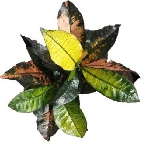 Croton mona lisa (Codiaeum variegatum)